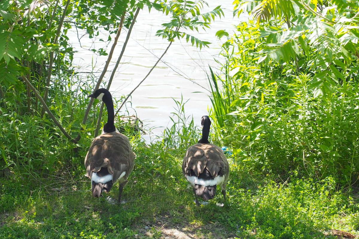 トロント郊外ユニオンビルのトゥーグッド池(Toogood Pond )のカナダグース